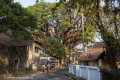 Riesenbaum mitten in der Altstadt von Kochi