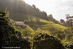 Teefelder bei Ooty
