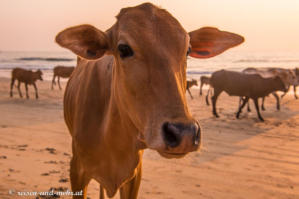 Holy cow on the beach, Agonda, Goa