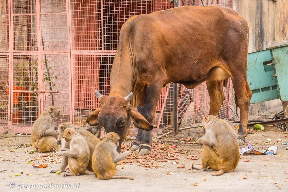 Kuh und Affen friedlich vereint