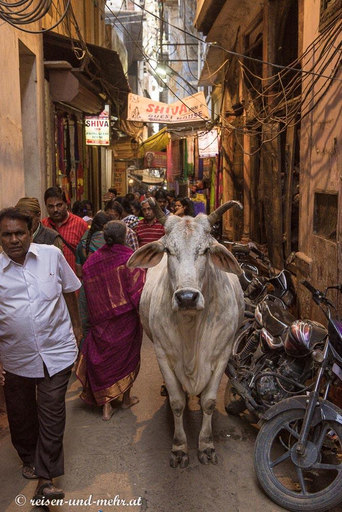 Kuh in der Altstadt von Varanasi