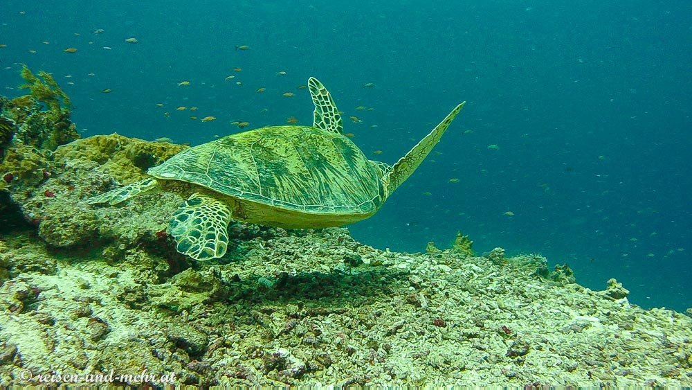 Grüne Schildkröte, Sipadan