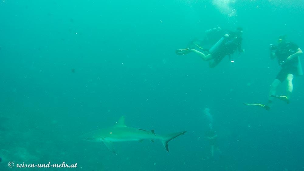auf Tuchfühlung mit einem Grauhai, Sipadan