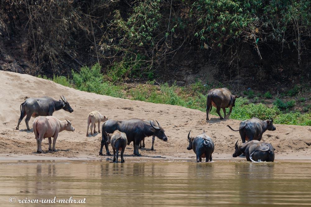 Wasserbüffel am Mekong