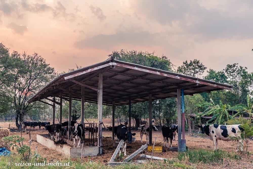 typische Kühe aus der Gegend um Pak Chong, Thailand